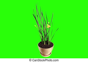4K Yellow narcissus blossom buds green screen, Ultra HD...