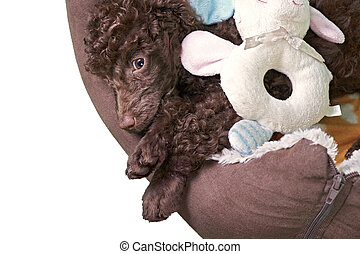 Miniature Poodle Puppy In His Bed - A miniature poodle puppy...