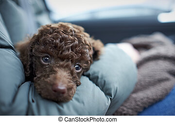 Miniature Poodle Puppy - A sleepy Miniature Poodle Puppy