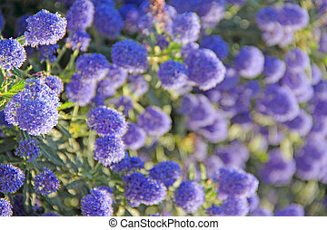 Blooming flowers - Beautiful blooming spring blue flowers...