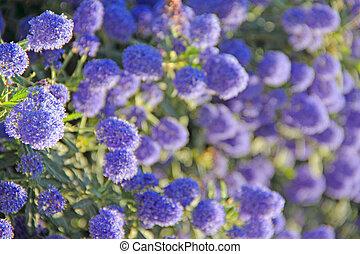 Blooming flowers - Beautiful blooming spring blue flowers...