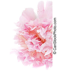 peony flower isolated on white
