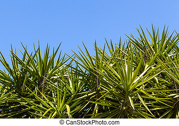 Yucca gigantea is a Yucca species that is native to Belize...