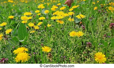 Hand gently caresses field flowers, dandelions