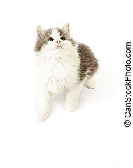 grey and white kitten on a white background