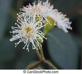eucalipto, árbol, flor