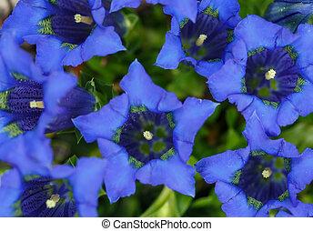 Trumpet gentiana blue spring flower in garden