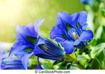 Trumpet gentiana blue spring flower in garden with sunlight...