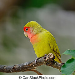 Lovebird - Beautiful bird, Lovebird, standing on the log,...