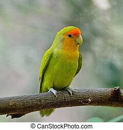 Lovebird - Beautiful bird, Lovebird, standing on the log,...