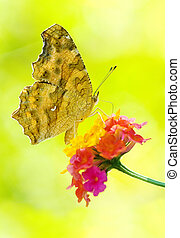 Butterfly feeding, Yellow Brush-footed butterflies, Asia