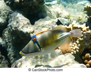 Picasso trigger fish and reef - Picasso trigger fish and...