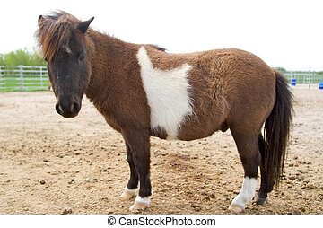 Minature Horse Paint - a paint miniature horse standing in...