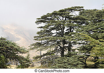 Cedar Forest of Lebanon - The cedar forest in Lebanon in the...