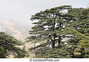 Cedro, bosque, líbano