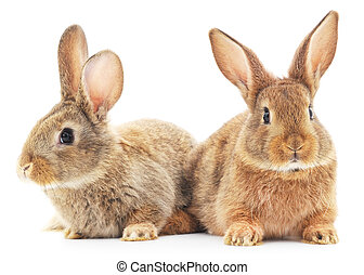Rabbits - Isolated image of a two bunny rabbits