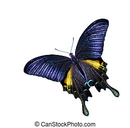 estrelas, swallowtail, borboleta