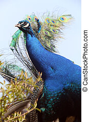 Peafowl - detail photo of the blue Peafowl, head