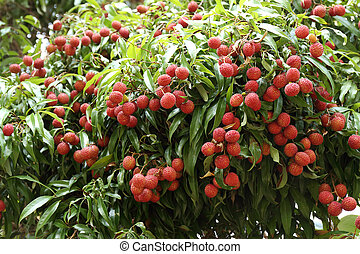 lychees hanging on the tree - Lichees hanging on the tree...