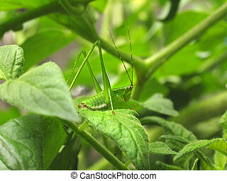 Katydid in Tomato leaves - A green katydid perches on a...