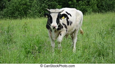 bull graze grass gadfly - mottled bull animal graze in...