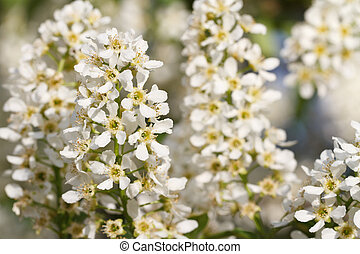 bird cherry tree branches with fragrant flowers closeup in...