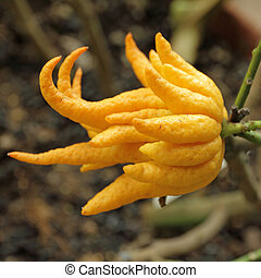 fragrant Buddha's hand or fingered citron fruit, Citrus...