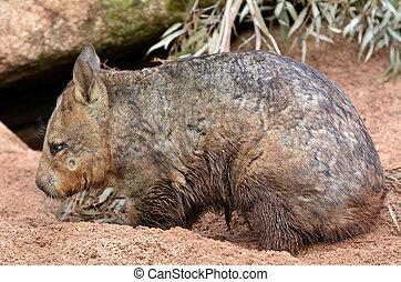 Wombat, quadrupedal marsupials, native to Australia dig a...