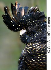 Red-tailed Black Cockatoo - Detail of a rare Red-tailed...