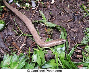 Hibernation Is Over - Close up of a slow worm on leafy...