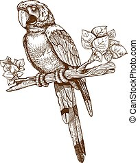 vector engraving big blue parrot on a branch on white...