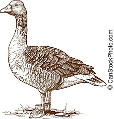 vector engraving goose - vector illustration of engraving...