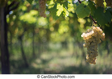 The old vineyard - The bunch of grapes in the ancient...