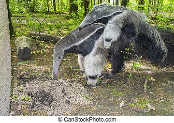 gigante, Oso hormiguero, (Myrmecophaga, tridactyla), Come,...