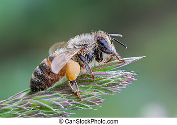 European honey bee - macro photography of European honey bee...
