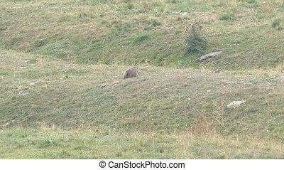 Groundhog looking for food