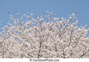 cherry blossom tree against the clear blue sky