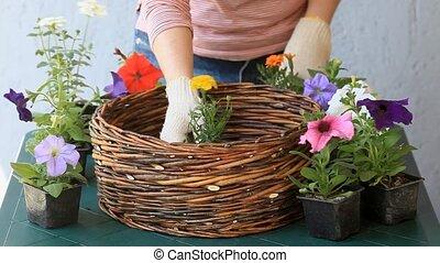Garden work kadar, petunias flowers - Female gardener...