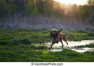redhead Spaniel dog running with a stick in the grass and...