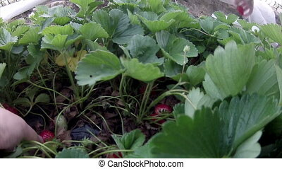 Home organic biological strawberry harvesting
