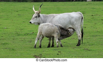 Hungarian grey cow family