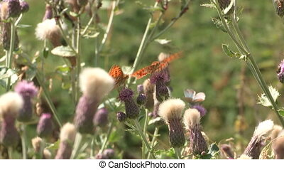 Butterflies taking pollen from flower in the mountains in...