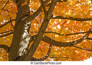 Beautiful Autumn Maple Tree - The bright leaves of a maple...