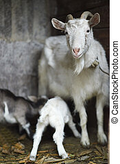 White domestic goat feeding goats in the barn