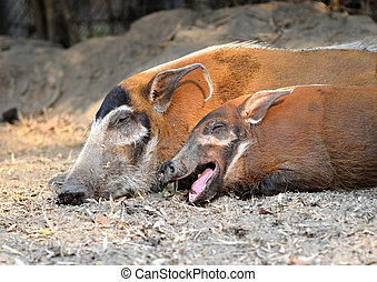 red river hog ( Potamochoerus porcus )