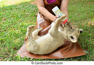 zookeeper feeding baby lion - zookeeper take care and...