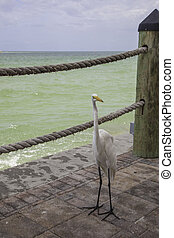 Great White Egret at Florida Gulf Coast Resort - A Great...