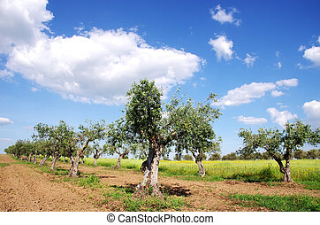 olive trees in field at Portugal