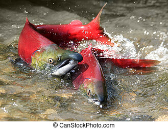 red salmon love - male and female red salmon in river before...