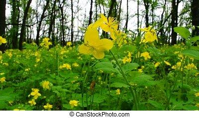 celandine in the spring wood